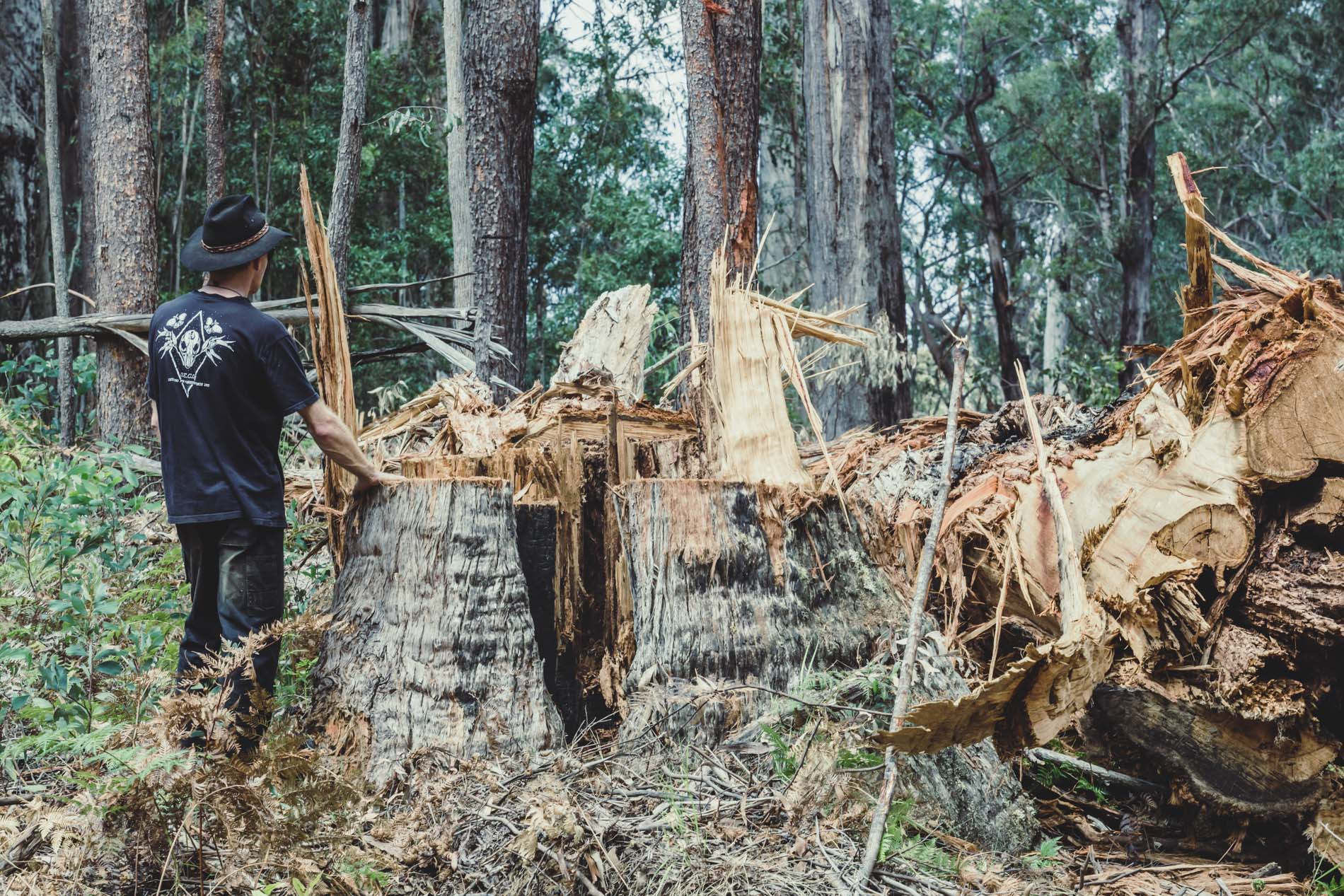 Logging old forest growth East Gippsland