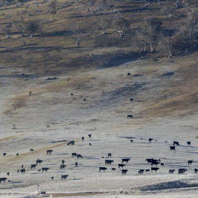 Cows Omeo photographic print Aldona Kmiec
